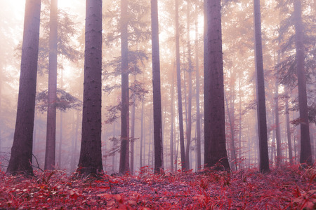 beautiful woodland: Beautiful red colored forest floor and with purple red colored foggy sunlight. Beautiful mystic light in woodland. Lovely big trees in magic forest. Color filter effect used. Stock Photo