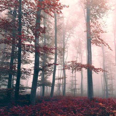 Beautiful red colored foggy dreamy forest landscape with mystic light. Red color filter effect used. Foto de archivo