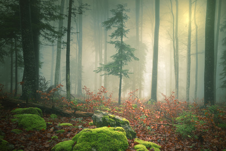 beautiful woodland: Dreamy light in foggy forest with lovely sun in background. Color filter effect used. Beautiful fantasy woodland was taken in south-east Slovenia.