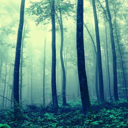 Fantas�a de niebla azul �rboles forestales verdes. Efecto de filtro de color utilizado. Foto de archivo