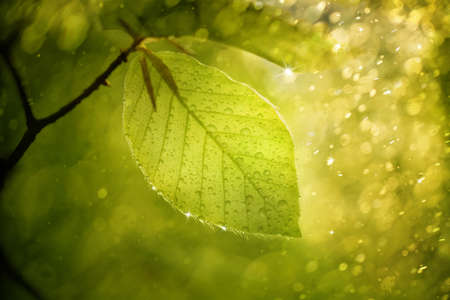 beech leaf: Magic blurry sunny beech leaf with raindrops and sunshine. Beautiful sparkle and bokeh added. Selective focus used. Stock Photo