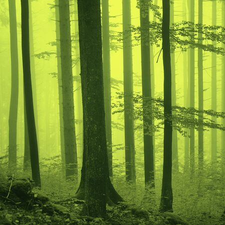 mystic place: Fantasy yellow green light foggy forest scene background. Yellow green color filter used. Stock Photo