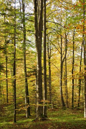 Colorful afternoon autumn beech forest. Foto de archivo