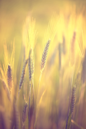 Abstract blurred sunny golden color barley field background. Out of focus sunny countryside field details.