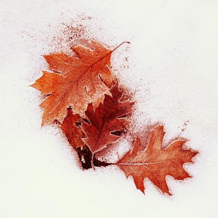 seson: Frozen oak leaves in the snow.