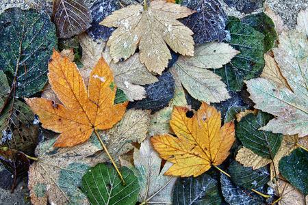 Hojas congeladas coloridas en el suelo del bosque.