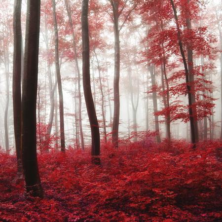 과포화 된 빨간색가 안개 숲입니다. 광선 빛과 컬러 필터가 사용되었습니다. 스톡 콘텐츠