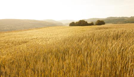 黄金色の素敵な日当たりの良い小麦フィールド風景背景。夜の光で木と美しい田園地帯の麦畑。