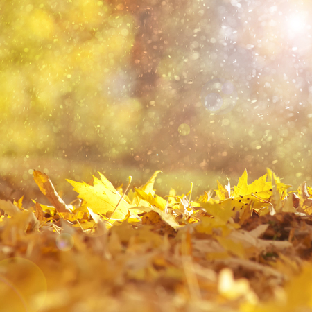 fall foliage: Beautiful sunny and rainy yellow color autumn season leaves with sunlight flare background. Magical autumn season color leaves copy space background. Selective focus used.