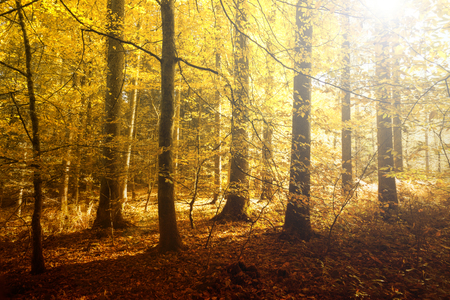 mystical forest: Fantasy golden sun light in the autumn forest landscape. Lovely red, orange and yellow color leaves on the forest floor.
