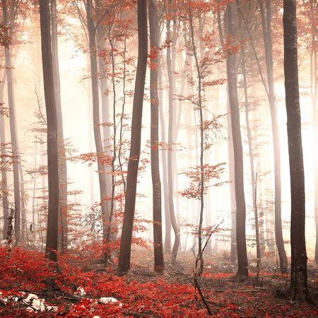 landscape rural: Lovely red colored autumn season beech tree leaf forest at foggy day. Seasonal red colored woodland. Picture was taken in south east Slovenia, Europe.