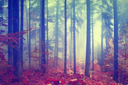 Magic autmn color vintage foggy forest with red colored leaves. Vintage color effect used. Stockfoto