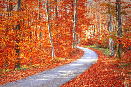 gold road: Red and gold color saturated sunny autumn season forest with beautiful winding asphalt road. Magical oversaturated autumn forest tree leaves. Stock Photo