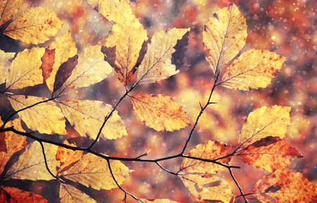 rainy season: Magical colorful rainy and sunny autumn season beech tree branch with colorful autumn leaves. Beautiful rainy and sunny autumn season leaves background.