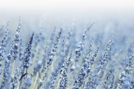 Blauwe violette van het de bloemgebied van de kleuren zonnige vage lavendel de close-upachtergrond met plaats voor tekst. Selectieve focus gebruikt. Stockfoto - 50092743