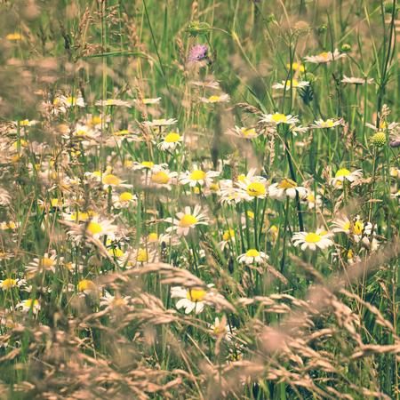 Lovely sunny daisy flowers blossom meadow. Sunny countryside meadow closeup background. Stockfoto