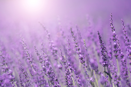 Purple violet color sunny blurred lavender flower field closeup background. Selective focus used. Stok Fotoğraf - 50092745