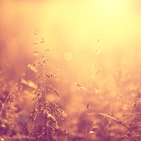 sunshine background: Vintage blurred meadow at sunset with flare. Vintage purple red and yellow orange color filter effect used. Selective focus used. Square composition used.
