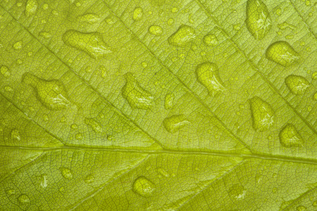 beech leaf: Macro of the spring beech leaf with rain drops. Stock Photo