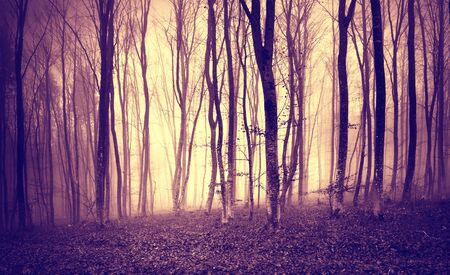 woodland  horror: Vintage purple yellow colored mystic light in scary forest landscape.