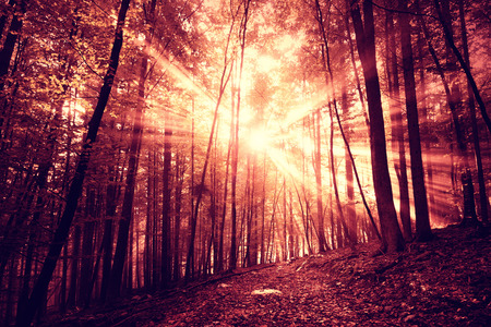 saturated: Mystic dark red saturated sunlight in foggy forest with path.