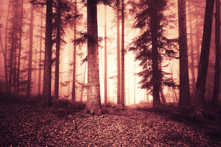 woodland  horror: Fire red saturated foggy light in fearsome trees forest. Spooky light in red colored woodland.