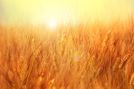 Sunny golden barley field with evening sun.