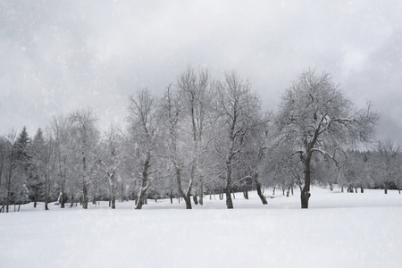 frigid: Old winter apple tree orchard with the snowfall.