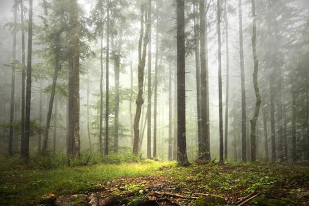 rainfall: Beautiful foggy forest landscape with rainfall.