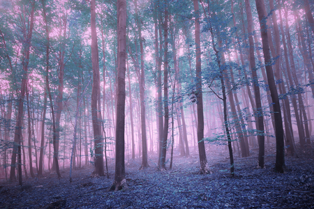 Fantasy pink blue saturated mystic foggy beech forest landscape. Stock Photo