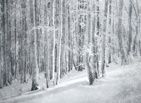 Beautiful snowfall in dreamy winter forest landscape. Stock Photo