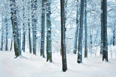 snowlandscape: Winter snowy beech forest scene. Stock Photo