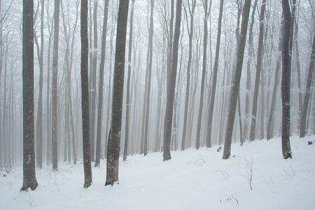 snowlandscape: Snowy and cold beech forest.