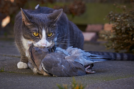 prey: Cat with prey
