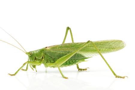 흰색 배경에 측면에서 메뚜기