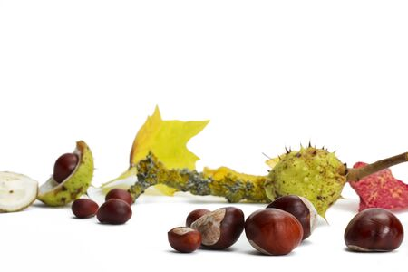 buckeye seed: buckeyes in front of branch and leaves on white background Stock Photo