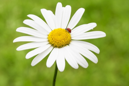 ladybug on a marguerite or common daisy petal photo