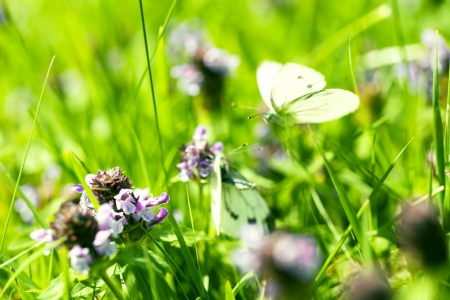 purpe clover blossom in front of blurred mating butterflies  photo