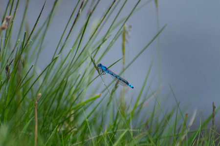 Isolated common blue male damselfly resting on a grass stalk against a blue background in a natural setting. Stock Photo