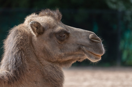 A close-up image of a captive Bactrian camel at zoo, with a blurred background.