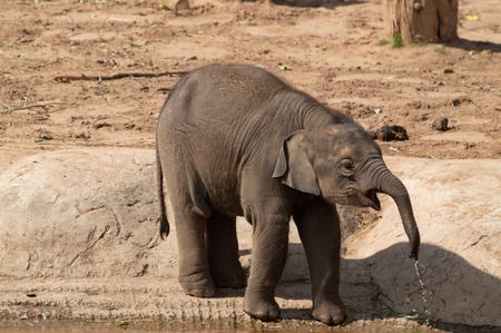 A captive baby elephant at the zoo with water dripping from their trunk.