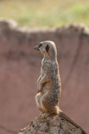 A single isolated  portrait of an alert Meerkat, Suricata suricatta, sitting on a termite mound.