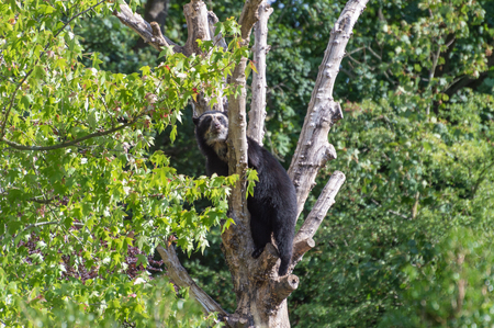 A captive Andean, also known as a spectacled bear climbing in a tree at the zoo.