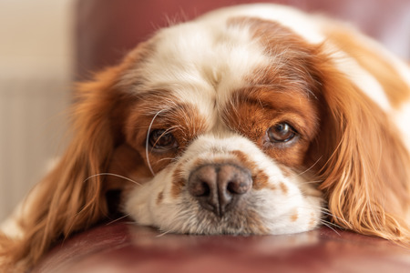A closeup profile shot of a single isolated Blenheim Cavalier King Charles Spaniel in a home setting.