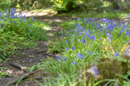 Brightly colored sunlit purple bluebell flowers against a natural green woodland background, using a shallow depth of field.