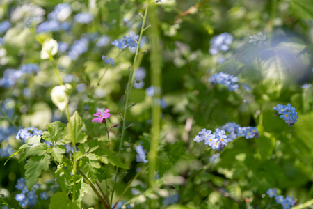 Brightly colored sunlit blue forget-me-not flowers against a natural green woodland background, using a shallow depth of field. Stock Photo