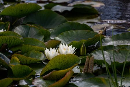 A white waterlily amongst green lily pads on a pond. 스톡 콘텐츠 - 132786670
