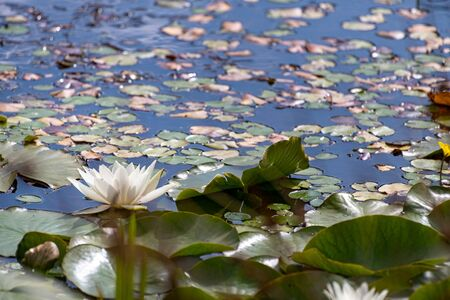 A white waterlily amongst green lily pads on a pond. 스톡 콘텐츠 - 132786672