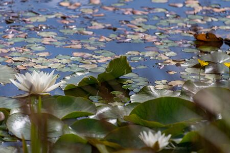 A white waterlily amongst green lily pads on a pond. 스톡 콘텐츠 - 132786675