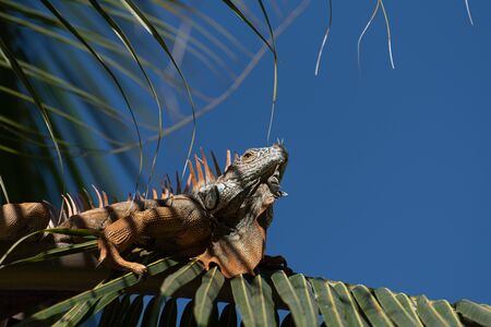 A single green Iguana in a palm tree in a natural wild South American environment. Stock Photo
